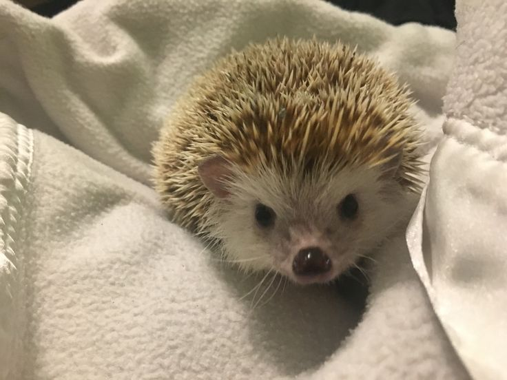 See my latest post about if African Pygmy hedgehogs make good pets