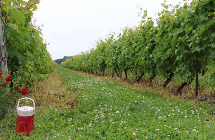 Ma visite au vignoble Rivière du Chêne