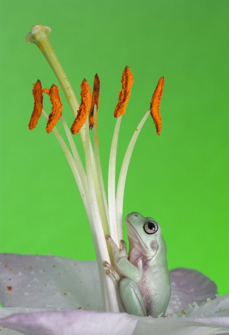 156 best i frogs images on pinterest amphibians frogs and