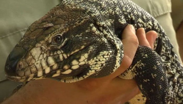 Invasive lizard that can eat cats taking root in Florida - The Tegu, a large lizard that is popular as an exotic pet, can be a major pest when pet owners realize they're in for a little more than they bargained for.