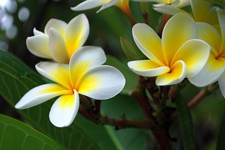 Plumeria-Also called Frangipani. It's flowers are used in Lei's and is relatively easy to grow indoors or sunroom. The leaves should be sprayed with fertilizer. It is a hungry plant, and can be grown from a cutting. The flowers are fragrant.