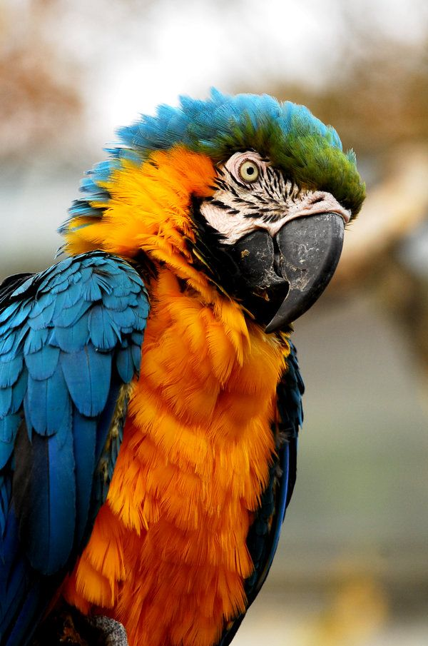 Blue and Yellow Macaw by Shadow-and-Flame-86 on deviantART