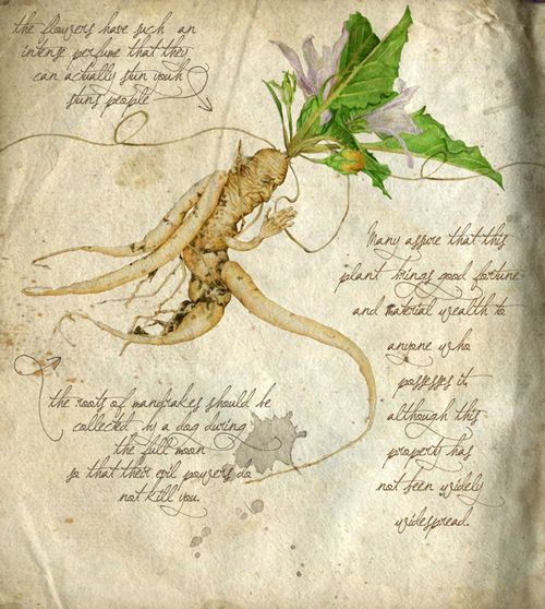 """.""""The Mandrake is the 'Tree of Knowledge' and the burning love ignited by its pleasure is the origin of the human race."""" – Hugo Rahner. The Mandrake ( Mandragora officinarum -also known as Herb of Circe, Wild Lemon, Womandrake ) holds the special distinction as being the most famous of all magical plants due to its many ritual and medical uses and the immense amount of mythology it has generated over historical ages."""