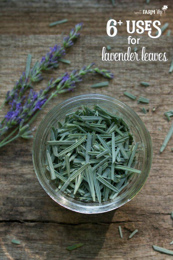 6 Uses For Lavender Leaves Lavender Leaves Lavender Herb Lavender Plant