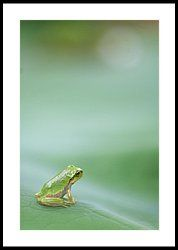 Frog On Leaf Of Lotus Framed Print by Naomi Okunaka