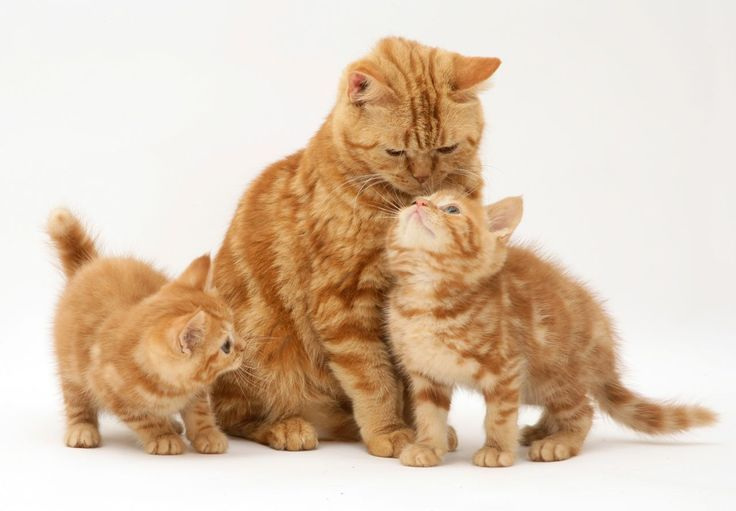 Red Tabby British Shorthair Mother Cat And Kittens Warren