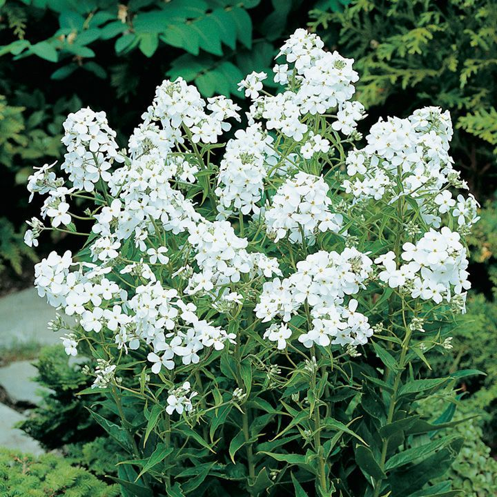 Hesperis matronalis: sweet rocket, lovely scent and good white flowers