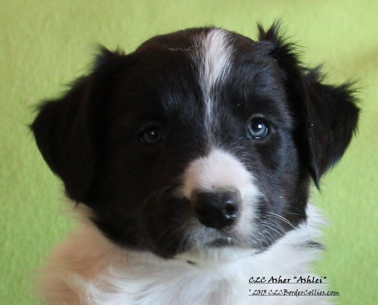 "Knoxy X Denver- C2C Border Collies ""Brew Pack"" Litter- Asher (Ashlei)-6-weeks"