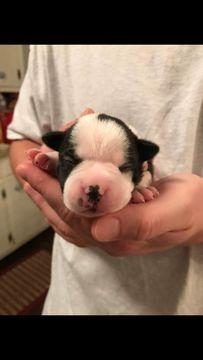 Litter of 6 Boston Terrier puppies for sale in NORTH CHARLESTON, SC. ADN-35937 on PuppyFinder.com Gender: Female. Age: 1 Week Old
