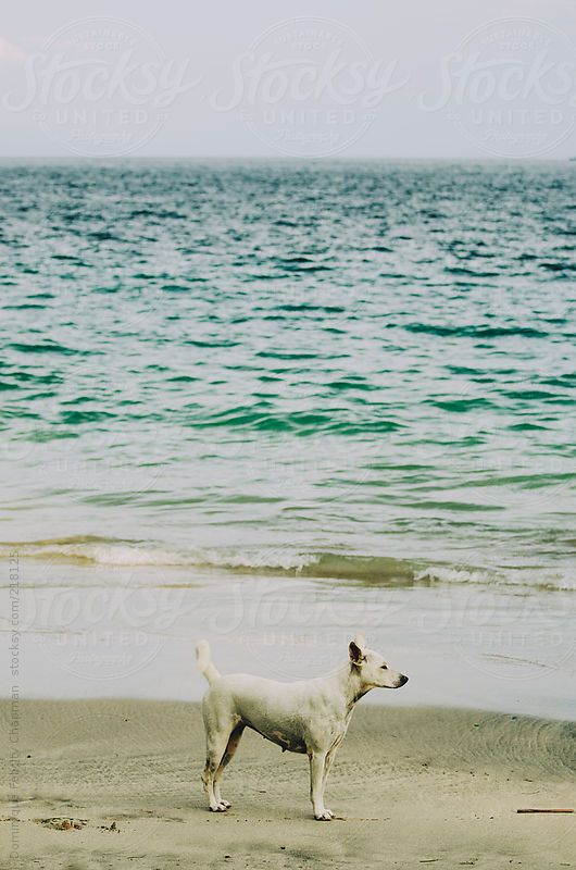 stray dog on beach by DominiqueFelicityPhotography | Stocksy United