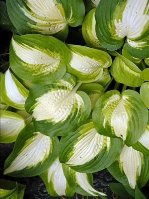 """Hosta 'Summer Music' - Height 15"""", Spread 24"""" -A work of art, each leaf looks hand painted! Broadly ovate, slightly twisted leaves have snow white centers bordered by streaks of gold and chartreuse, and outlined with dark green margins. Best color is achieved with bright morning sun.  Pale lavender flowers appear on 20"""" scapes in midsummer. A sport of H. 'Shade Master'  from PerennialResource  photo by Walter Gardens, Inc."""