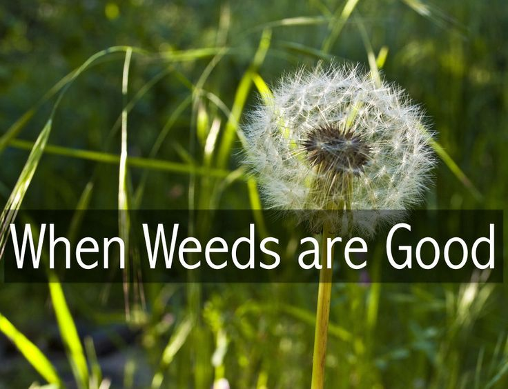 (link) When Weeds are Good ~ Weeds occupy every gardener's mind: If we're not weeding the garden, we're worrying about them. For many of us, weeds are like zombies in a post-apocalyptic world: they are everywhere and uncontrollable. It helps to know that most weeds have a purpose, beyond making our lives hell!  Have you ever wondered why weeds exist? Once you know the secret, you can harness the power of weeds in your garden. HINT: info changed my attitude about WEEDS!  ~ for more great PINs…
