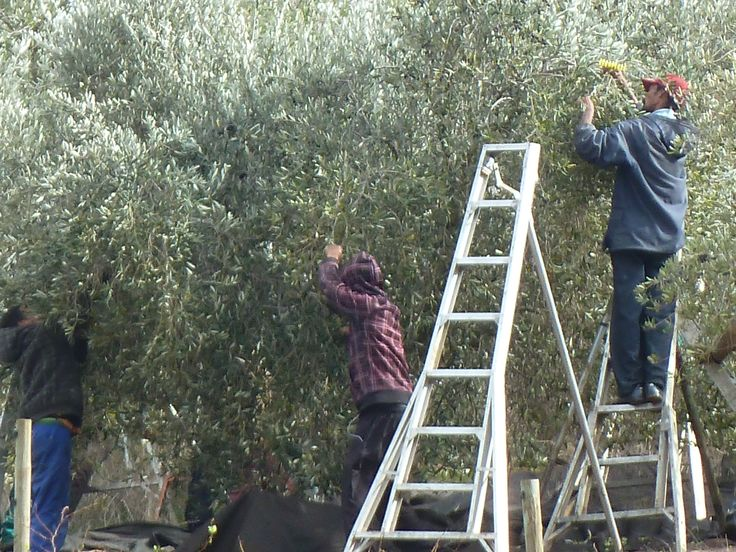Harvesting olives at Tokara in Stellenbosch, South Africa