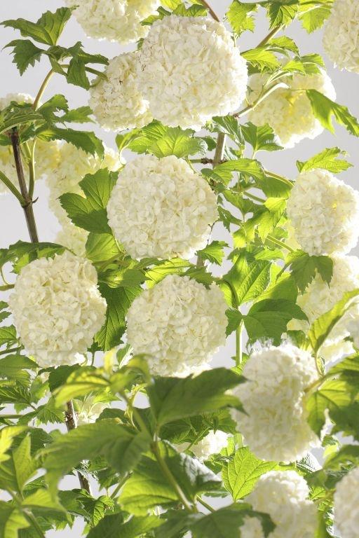 1000 ideas about viburnum opulus on pinterest viburnum - Arbre boule de neige ...