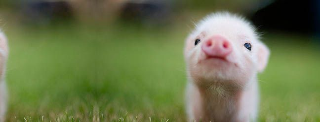 This little piggy: Cutest Baby, Little Pigs, Cat, Pet, Baby Pigs, Glasses Wall, Teacups Pigs, Cute Piggy, Animal