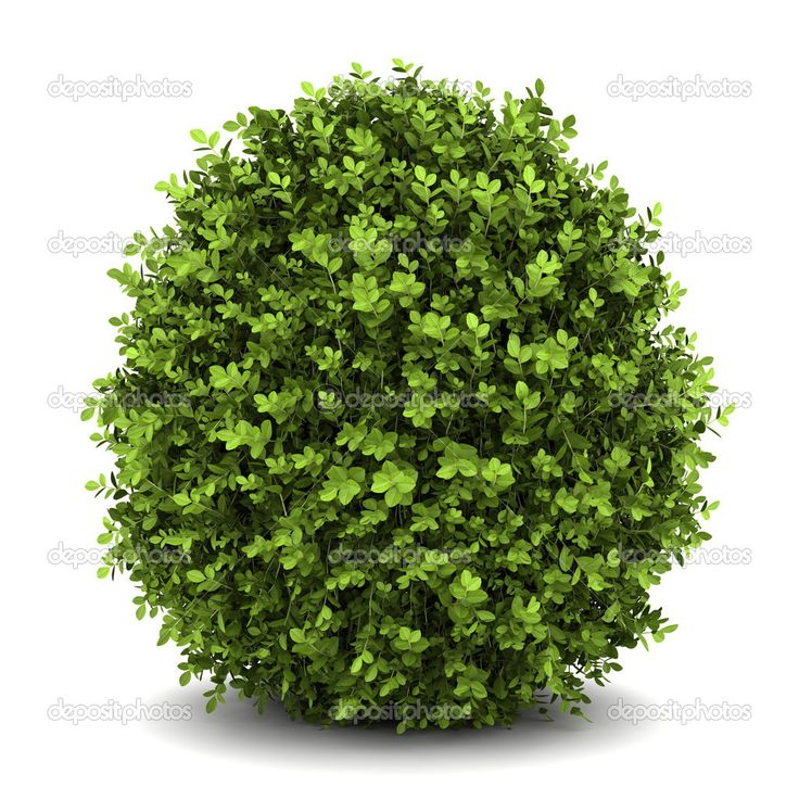 Best 25 dwarf shrubs full sun ideas on pinterest tall for Tall flowering shrubs