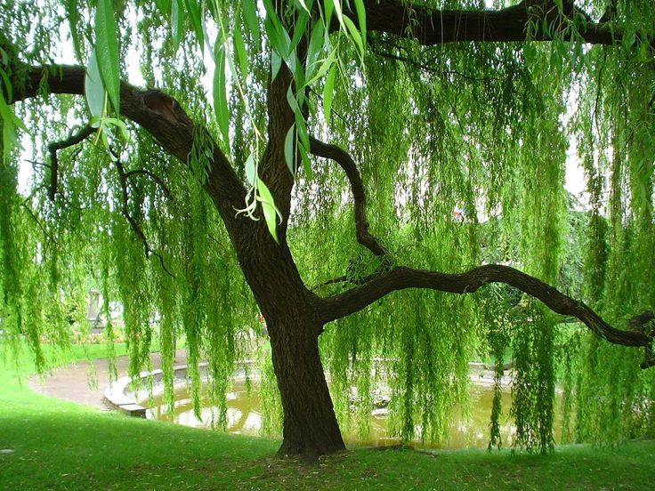 Weeping Willow Trees.  So uniquely beautiful.Happy Hour, Favorite Things, Dreams, Willow Trees, Weeping Willow, Front Yards, Places, Branches, Backyards