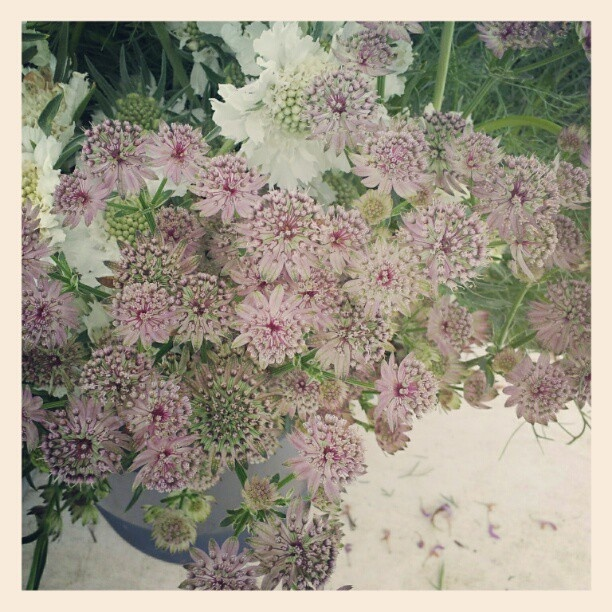 Astrantia- these are the ones I was trying to figure out what they were!