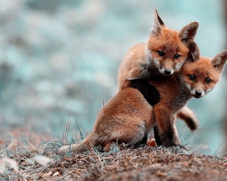 BABY FOXES 8X10 POSTER PHOTO PRINT 0016