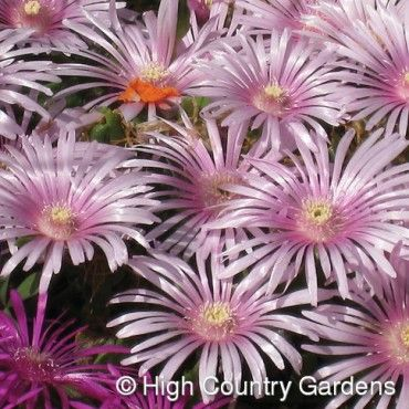Delosperma Lavender Ice   Lavender Ice Hardy Ice Plant   Low Water Plants, Eco Friendly Landscapes   High Country Gardens