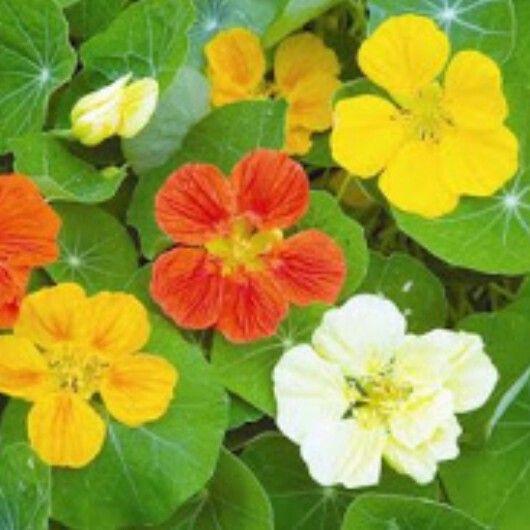 21 best Nasturtiums images on Pinterest Edible flowers Flower