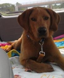 Nolan is an adoptable Golden Retriever Dog in Avon, OH. I am one lucky dog! I got out of the dog pound and rode to the vets yesterday with this nice guy who told me I would get taken care of now. I am...