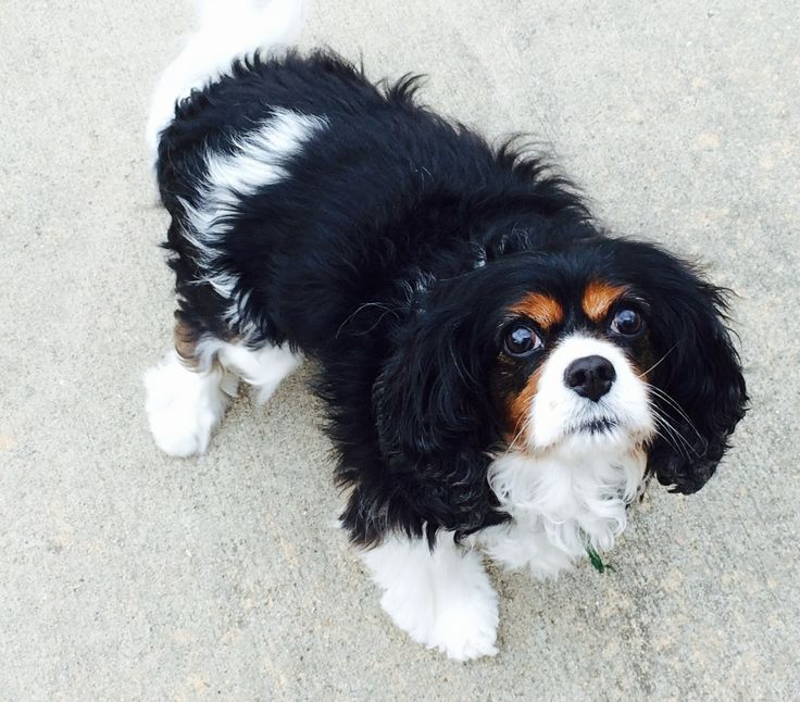 Cavalier King Charles Spaniel additionally 27567 Sheltie X Poodle Pup And Cavalier King Charles Pup besides 139822763403801793 in addition 191966002843579504 in addition File Vesicourachal diverticulum. on cavalier king charles spaniel