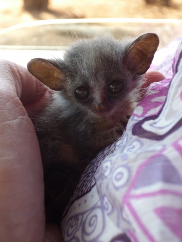 I Bush Babies With Images Cute Animals Baby Animals