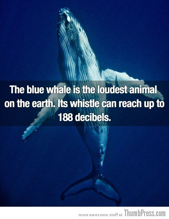The blue whale is the loudest animal on the earth. It's also the largest, reaching up to 200 tons!