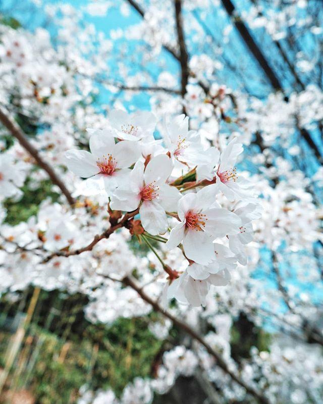 7 Kali Bolak Balik Ke Jepang Belum Nemu Bosen Selalu Ada Yang Bikin Kangen Dan Banyak Hal Baru Untuk Bisa Dilihat Juga Dicoba Bunga Bunga Sakura Lukisan Bunga