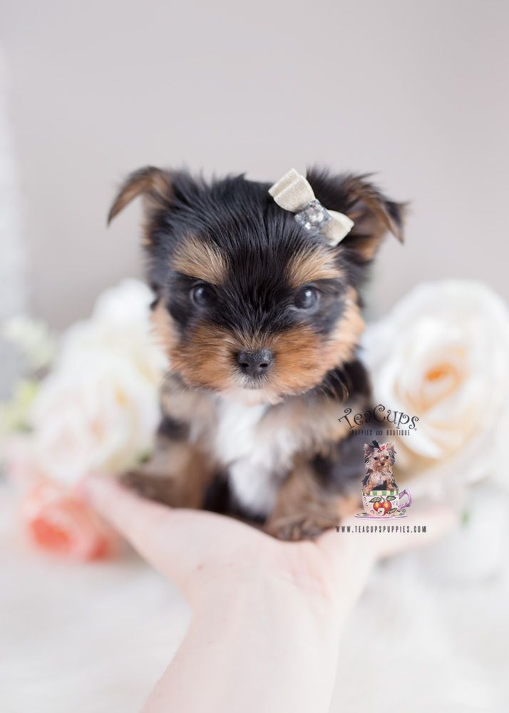 Which Type Of Yorkie Puppies Clothes Are In Demand Right Now Whether Your Dog Is Small Or Big He Needs Teacup Puppies Teacup Yorkie Puppy Really Cute Puppies