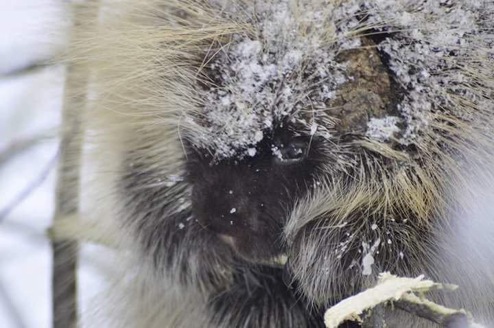 Porky the Porcupine today near Wetaskiwin Alberta posted by #CanadianTravelInfluencer Dean McMurrer #wildlife