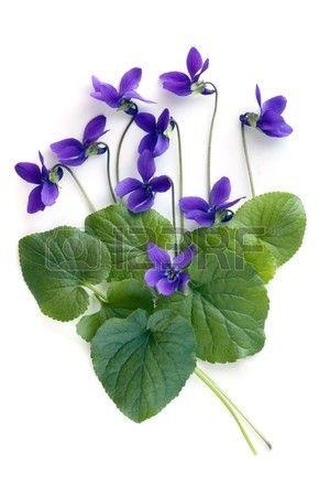 Violette e foglie