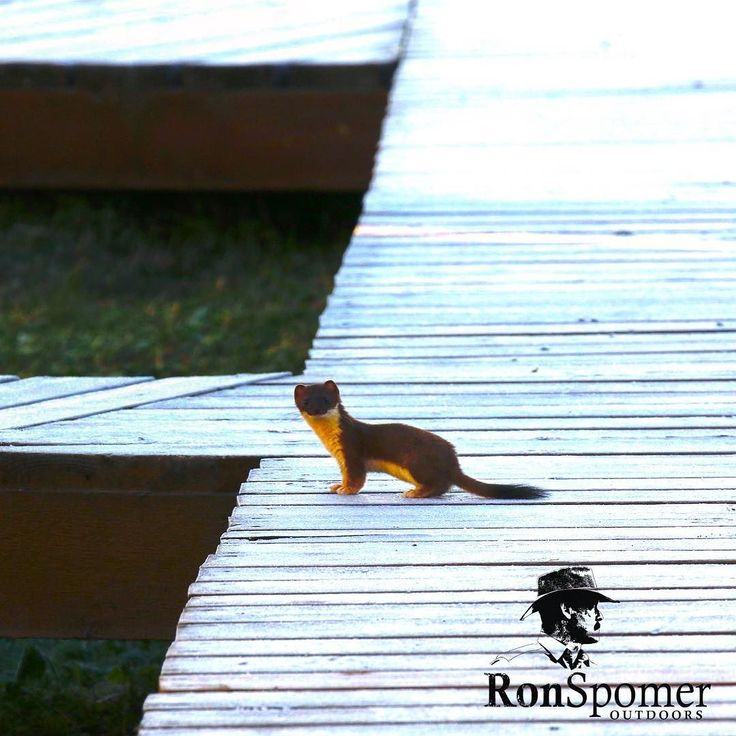 Think you can weasel out of this one? Long tailed weasel on frosty boardwalk at Driftwood Lodge Alaska. #alaskaexpeditioncompany #weasel #diamondbladeknives #mustelid #whywehunt #alaska #wildlife #animals #ronspomeroutdoors