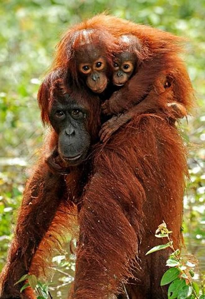 Orangutan mom & her twins