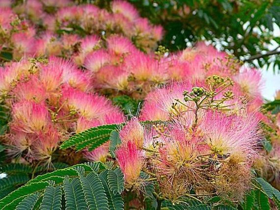 Silk Tree Mimosa Tree Seeds Hummingbird Favorite Favorite Hummingbird Mimosa Seeds Silk Tree Mimosa Tree Hummingbird Plants Pink Flowering Trees