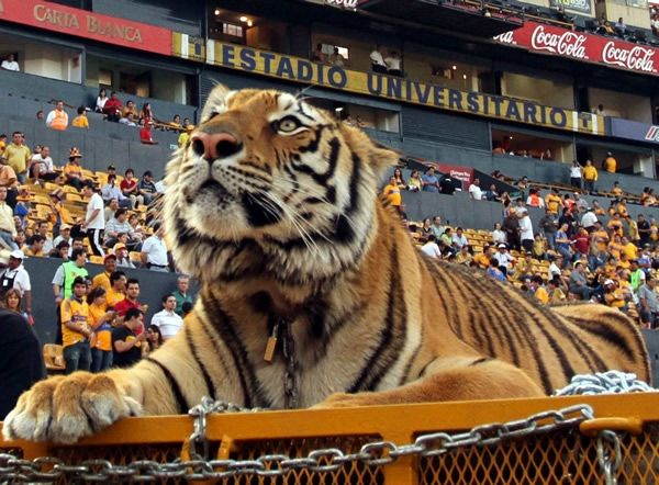 tigres uanl - Buscar con Google