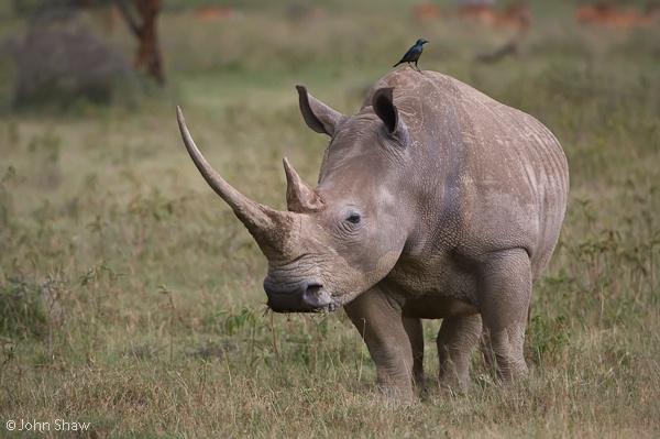White rhinoceros, Diceros simus; Lake Nakuru National Park, Kenya.