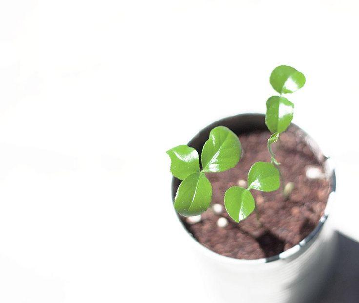 mejores 8 imágenes de oregano / cultivo en pinterest | cultivar