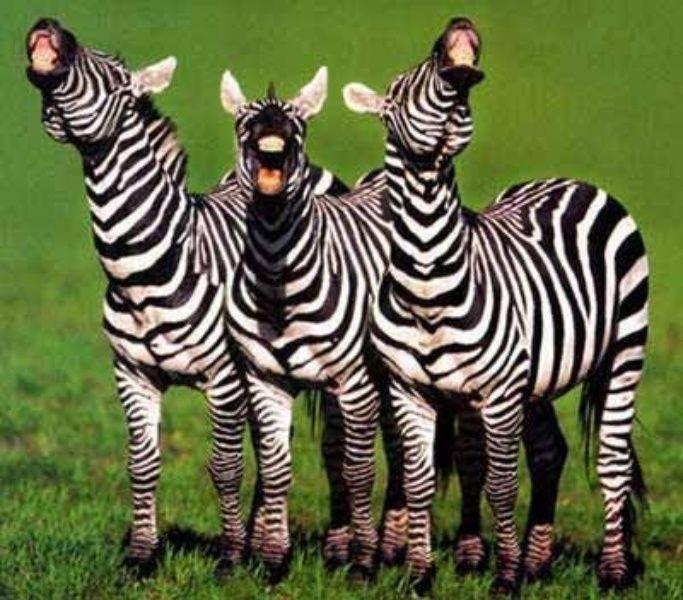 lachende Zebra's