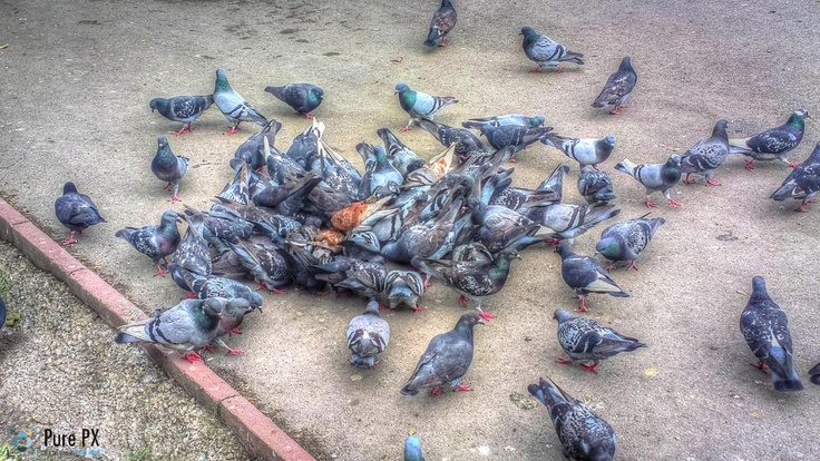 Porumbei, versiunea PureView