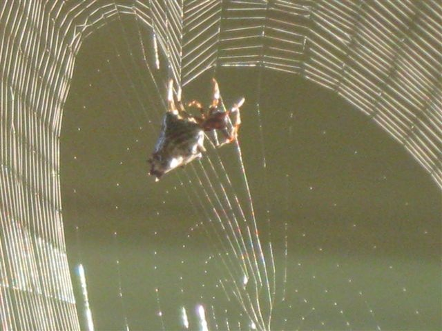 Created to create--Only humans design according to God's creation: Insects Spiders, Create Only Humans, Orb Weaver, Spiders Scorpions, Fun Stuff, God S Creation, Scorpions Arthropods, Humans Design