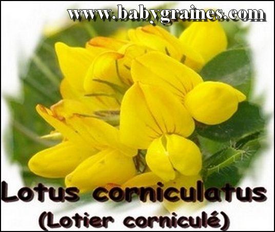 Lotus Corniculatus , Lotier Corniculé