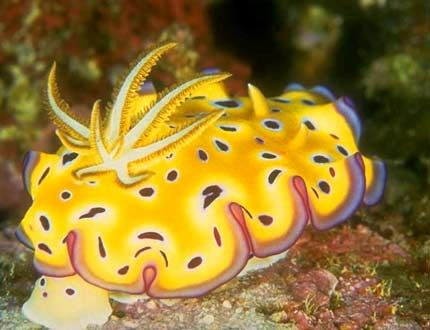Yellow nudibranch on a coral reef