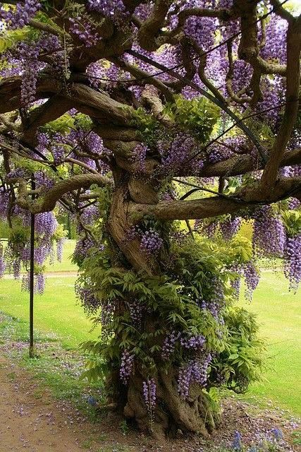 """Venerable"" Wisteria Vine.....This  is gorgeous!"