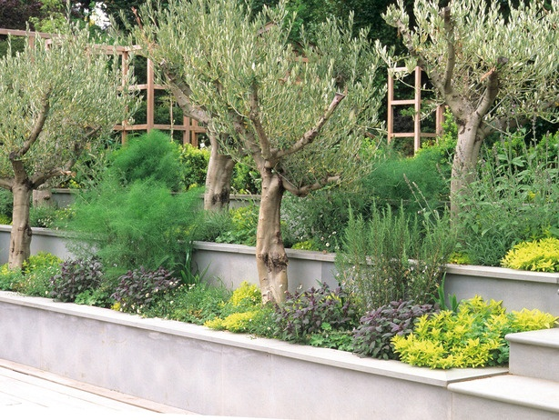 Superior Olive Terraces : Landscaping : A Smooth Concrete Terrace Frames Rows Of  Olive Trees.