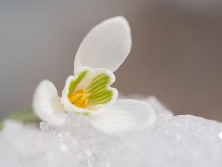 Anemone nemorosa - Anemone nemorosa