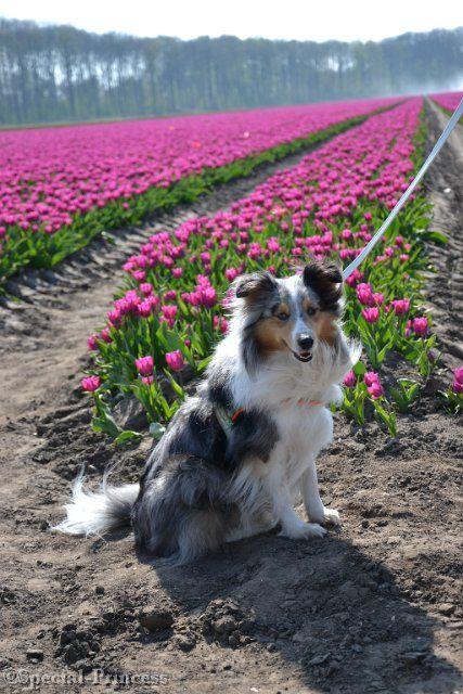 """Yin-dee Abby Special Princess """"Abby"""" - our blue merle Shetland Sheepdog (Sheltie) - Special Princess"""