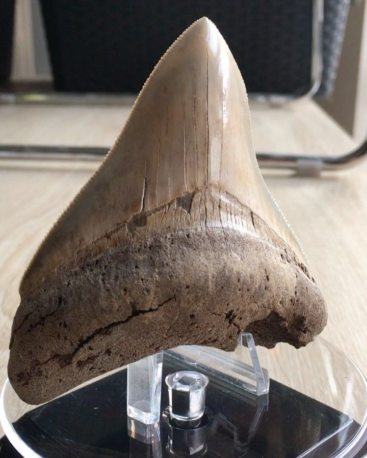 My new display toy in action!! I feared It would not work with the weight of a big tooth like this Megalodon from the Ashepoo river on it but it works perfectly!! What do you guys think?  #sharkteeth #shark #fossils #megalodon #display #ashepooriver #solarspinner #solarpower #paleontology #museum #extinct #usa #happy #follow4follow #instagram #animals #sharkweek #collection