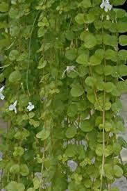 Sterke hangplanten voor binnen potplanten buiten schaduw for Grote planten voor binnen
